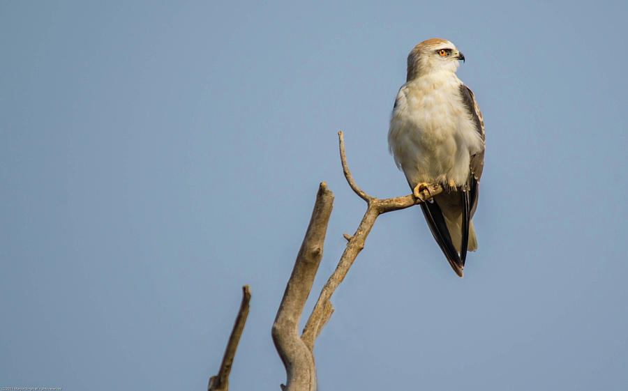 Kite Photograph - Black Winged Kite  by Manjot Singh Sachdeva