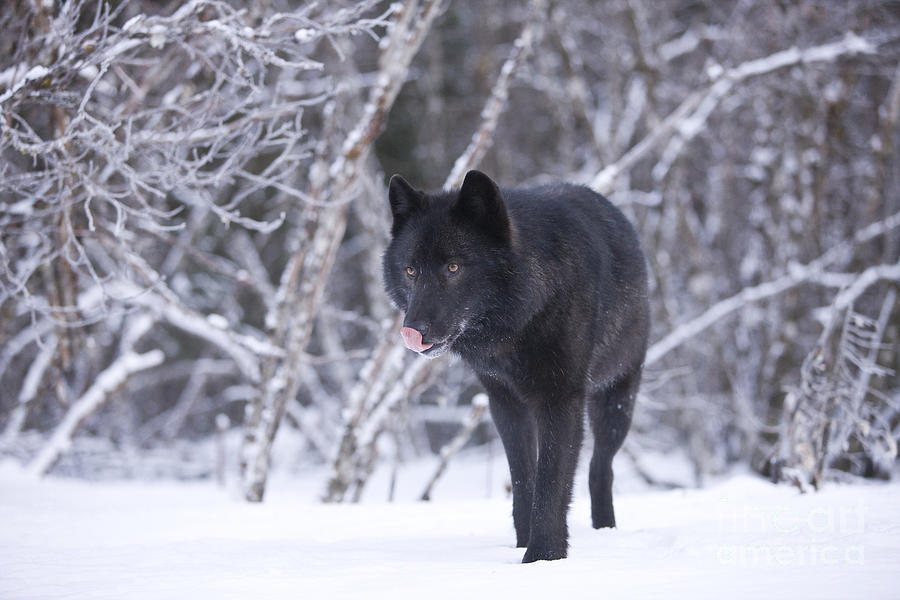 Black Wolf In Snow Photograph By John Hyde