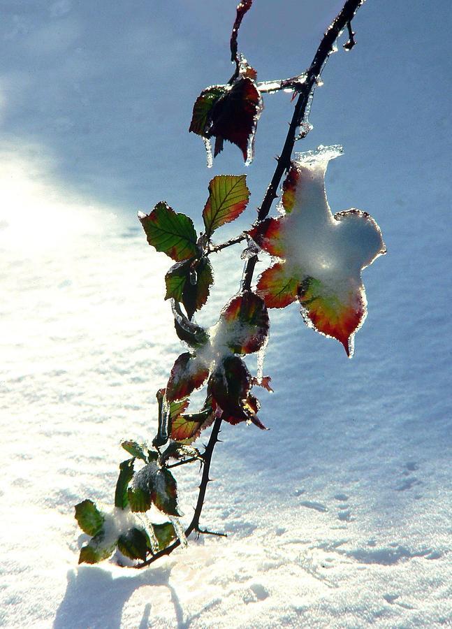 Cold Photograph - Blackberry In Winter by David Gardner