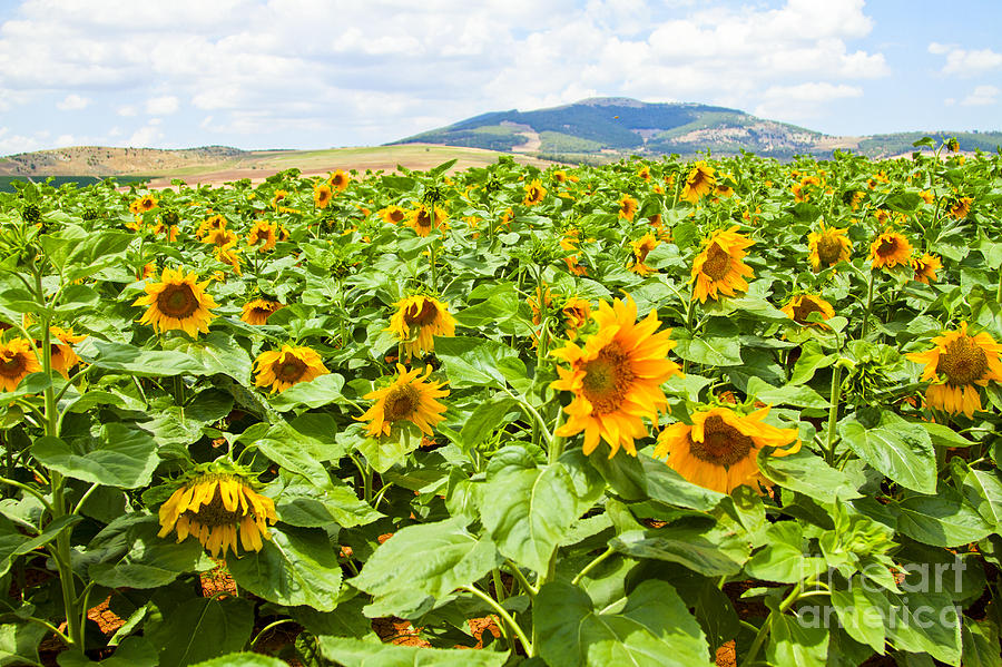 sunflower field picture blooming - photo #1