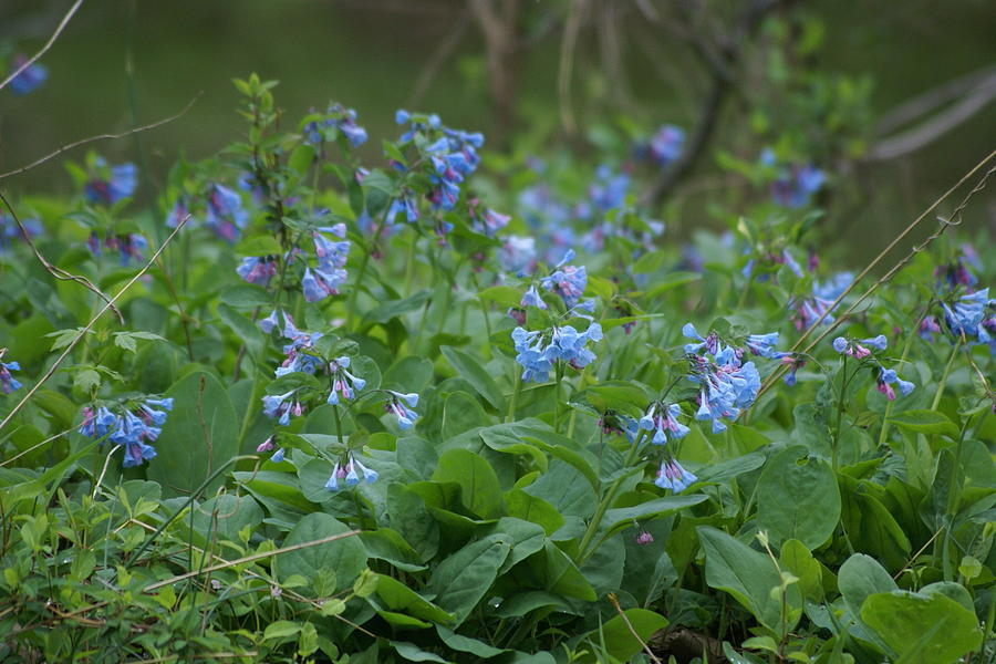Woods Photograph - Blue bells by Heidi Poulin