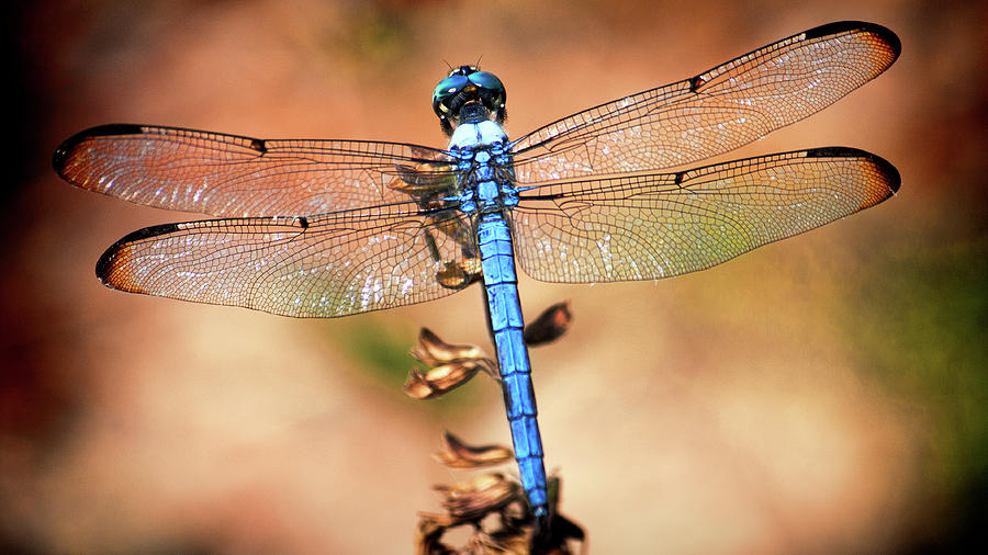 Blue Dragonfly by Andrew Chianese