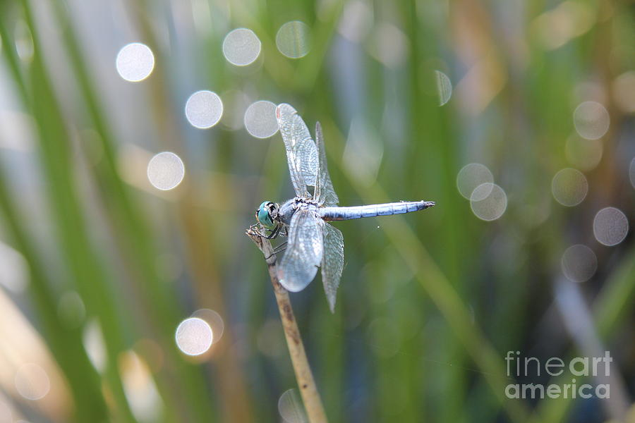 Blue Dragonfly Photograph - Blue Dragonfly by Anthony Jones