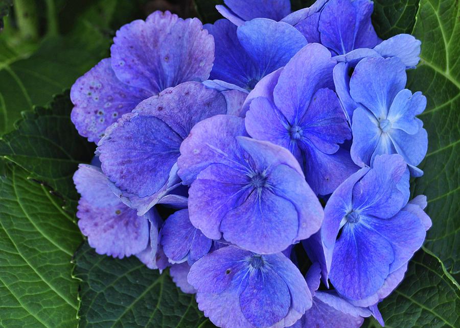 Flower Photograph - Blue Flower by JAMART Photography