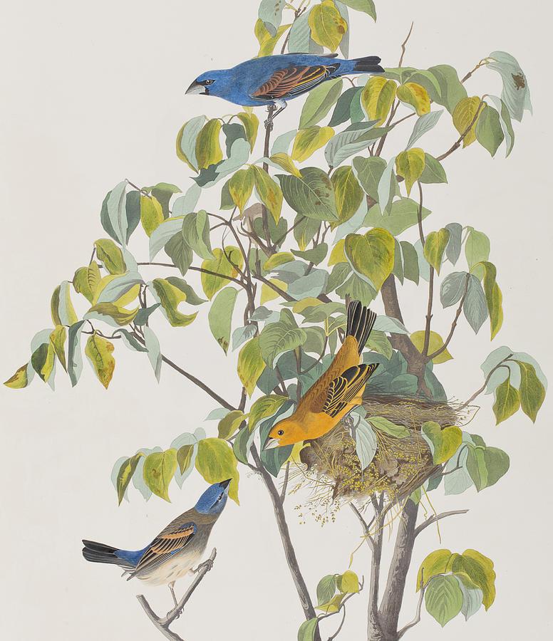 Blue Grosbeak Painting By John James Audubon