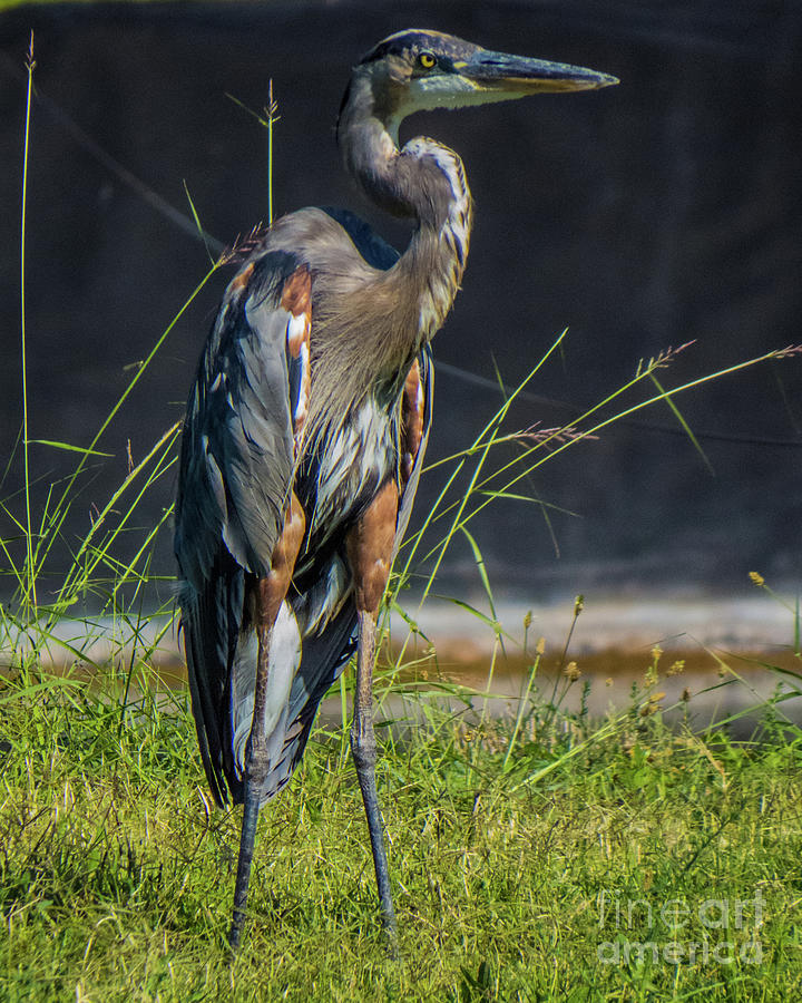 Blue Heron 1 by Christy Garavetto