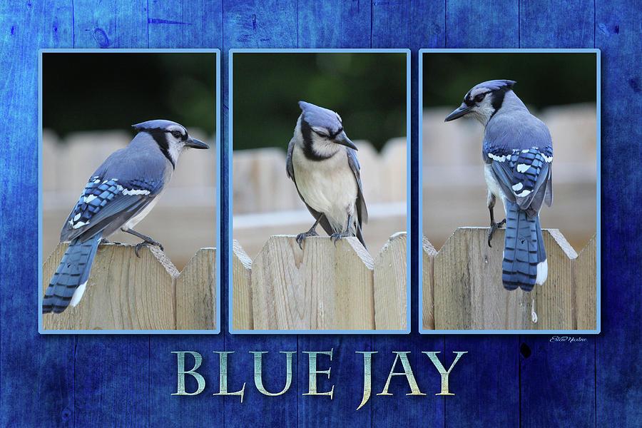 Blue Jay Photograph - Blue Jay by Ericamaxine Price