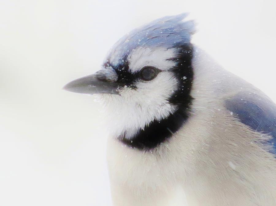 Blue Jay Photograph - Blue Jay In Winter by Lori Frisch
