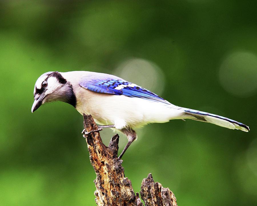 Blue Jay Photograph