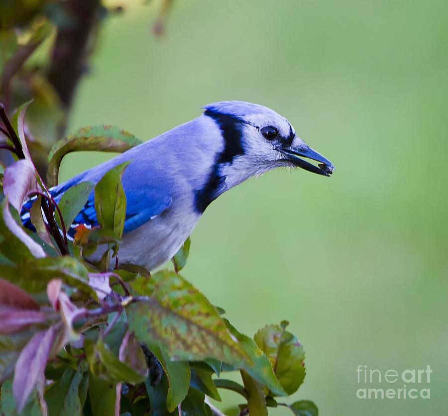 Canon Photograph - Blue Jay by Ricky L Jones