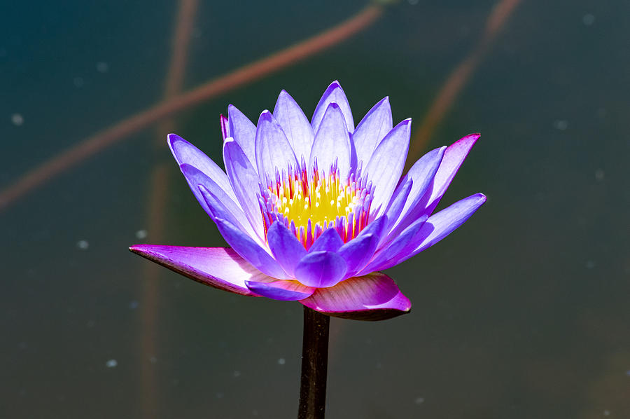 Blue Lotus Flower Flower Lotus Nature Summer Green Plant Blossom Asian Water Nature Blossom Beautif Photograph by Sirawich Rungsimanop