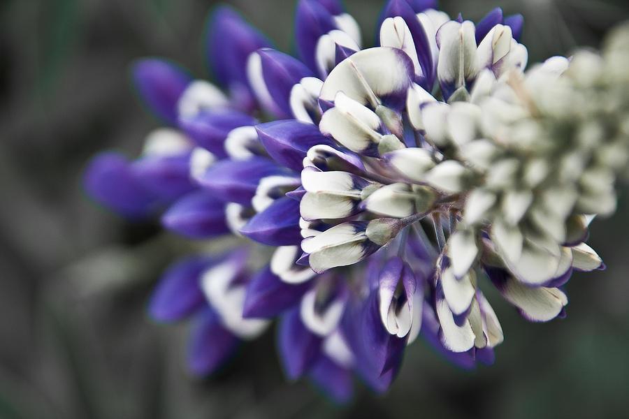 Lupine Photograph - Blue Lupine by Jonathan Hansen