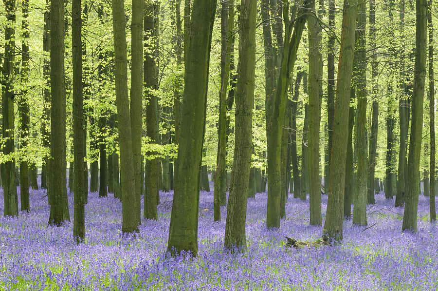 Bluebell Photograph - Bluebell Wood by Liz Pinchen