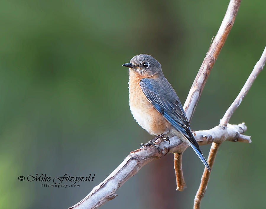Bluebird by Mike Fitzgerald