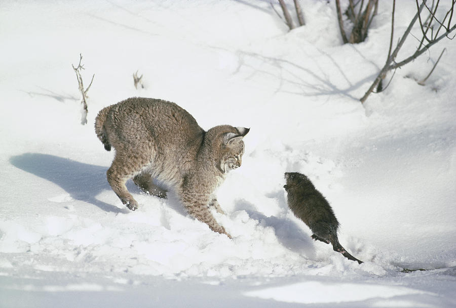 Mp Photograph - Bobcat Lynx Rufus Hunting Muskrat by Michael Quinton