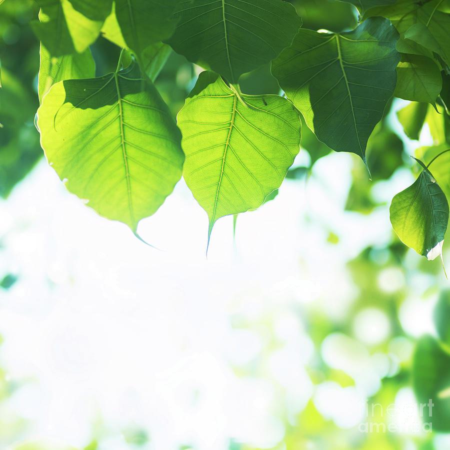 Asian Photograph - Bodhi Leaves by Atiketta Sangasaeng