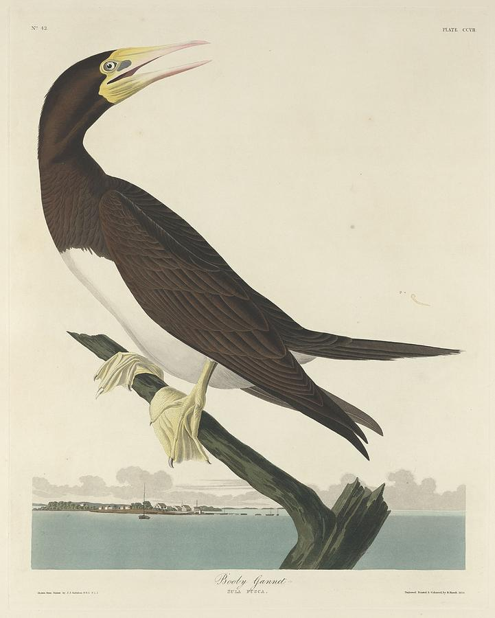 Audubon Drawing - Booby Gannet by Dreyer Wildlife Print Collections