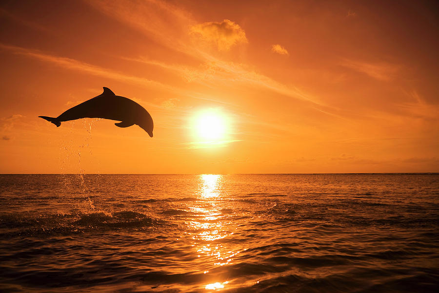 Horizontal Photograph - Bottlenose Dolphin (tursiops Truncatus) Jumping Out Of Water, Sunset by Rene Frederick