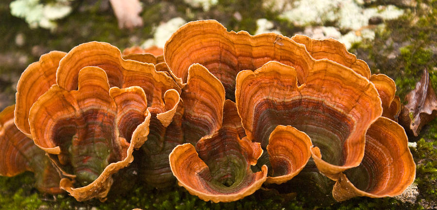 Bracket Photograph - Bracket Fungi by Douglas Barnett
