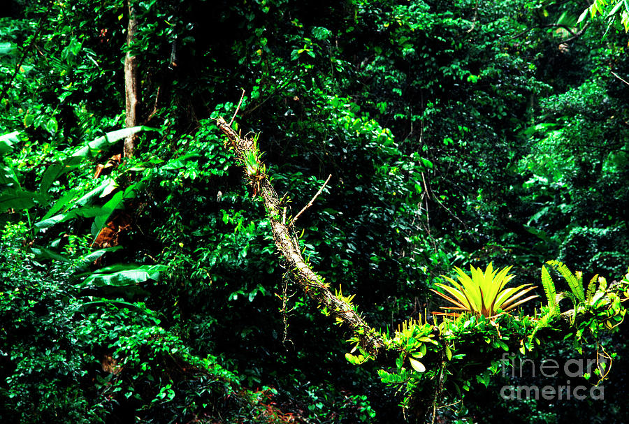 El Yunque National Forest Photograph - Bromeliads El Yunque National Forest by Thomas R Fletcher