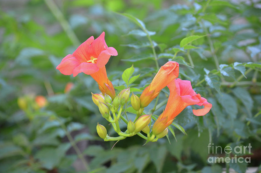 Budding And Blooming Trumpet Vine Flowers In A Garden Photograph
