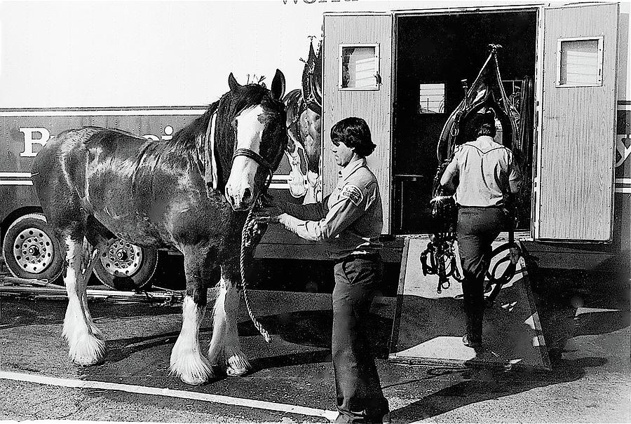 Budweiser Clydesdales Los Vaqueros Rodeo Parade Tucson Arizona 1984 Photograph by David Lee Guss