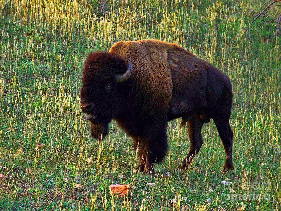Buffalo Photograph - Buffalo Custer State Park by Tommy Anderson
