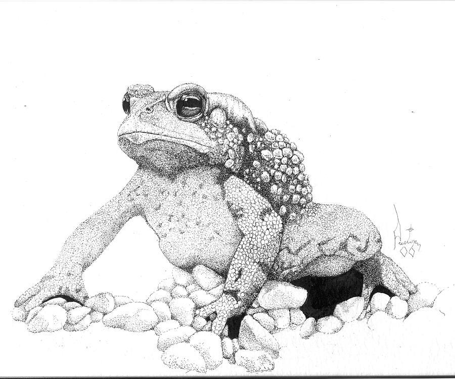 Bufo Americanus Drawing by Preston Shupp