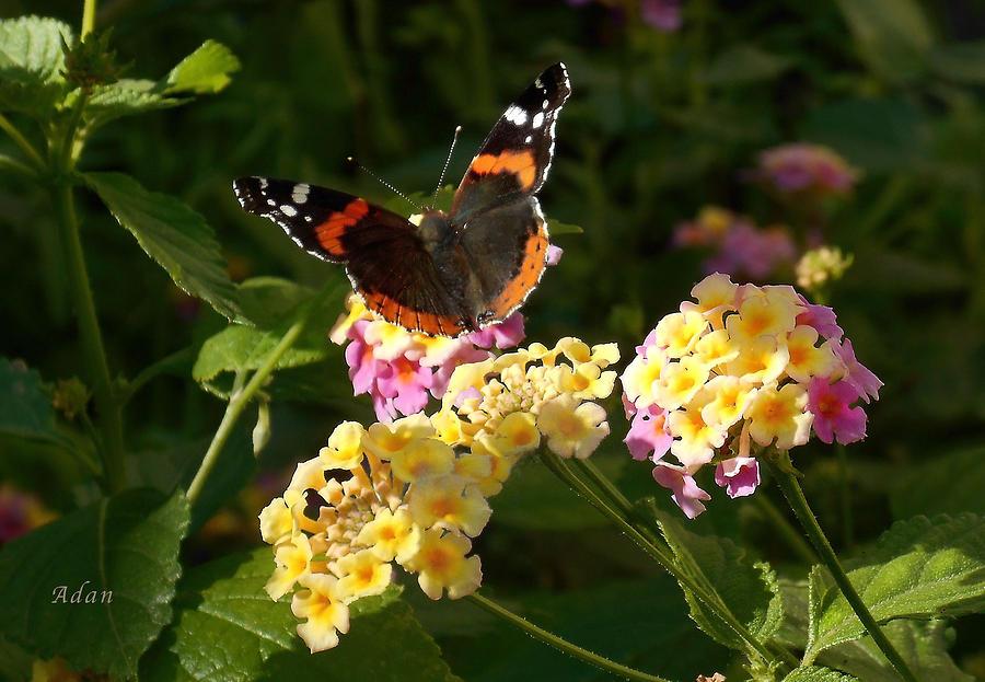 Monarch Butterfly Photograph - Busy Butterfly Side 2 by Felipe Adan Lerma