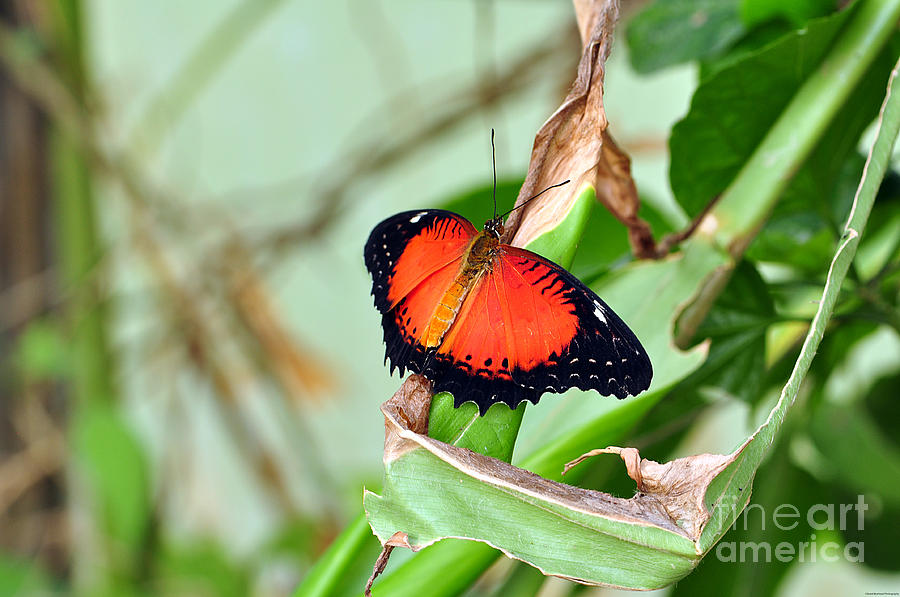 Butterfly Photograph - Butterfly by Grant Muirhead