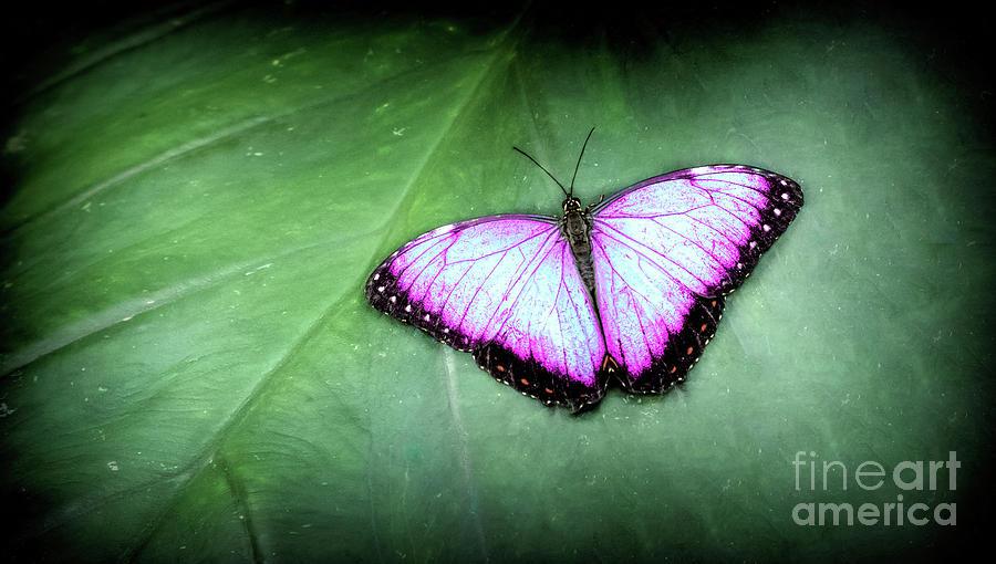 Feeding Photograph - Butterfly by Shaun Wilkinson