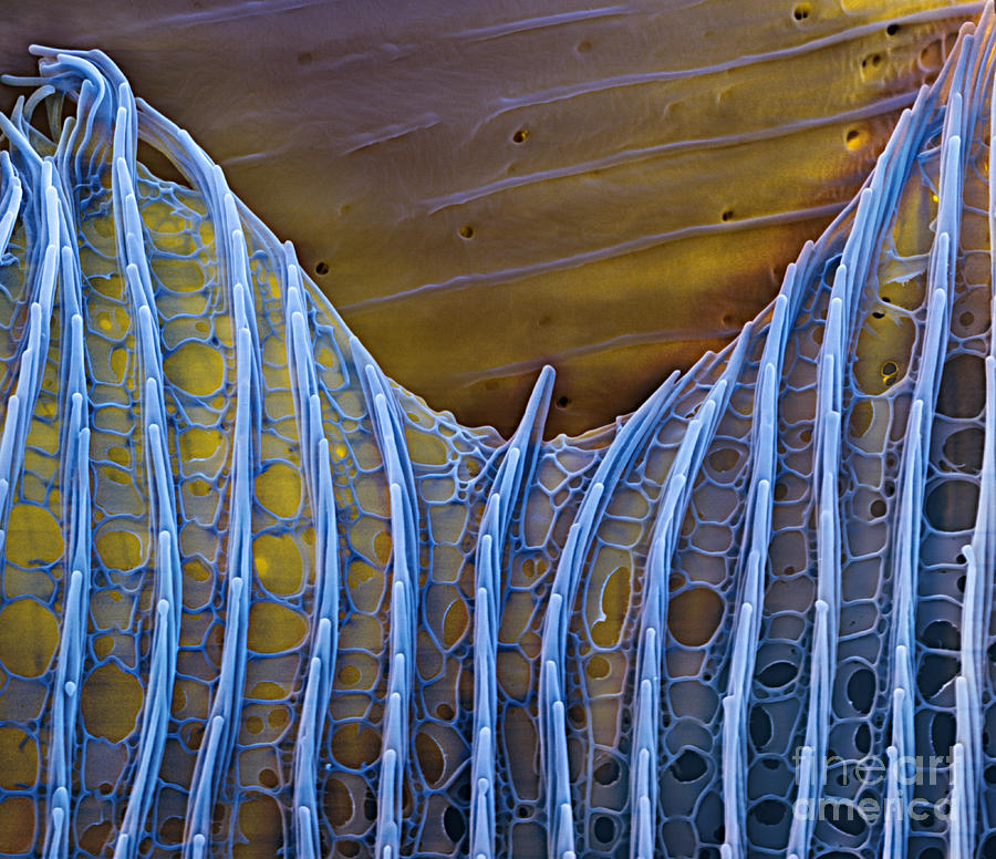 Science Photograph - Butterfly Wing Scale Sem by Eye of Science