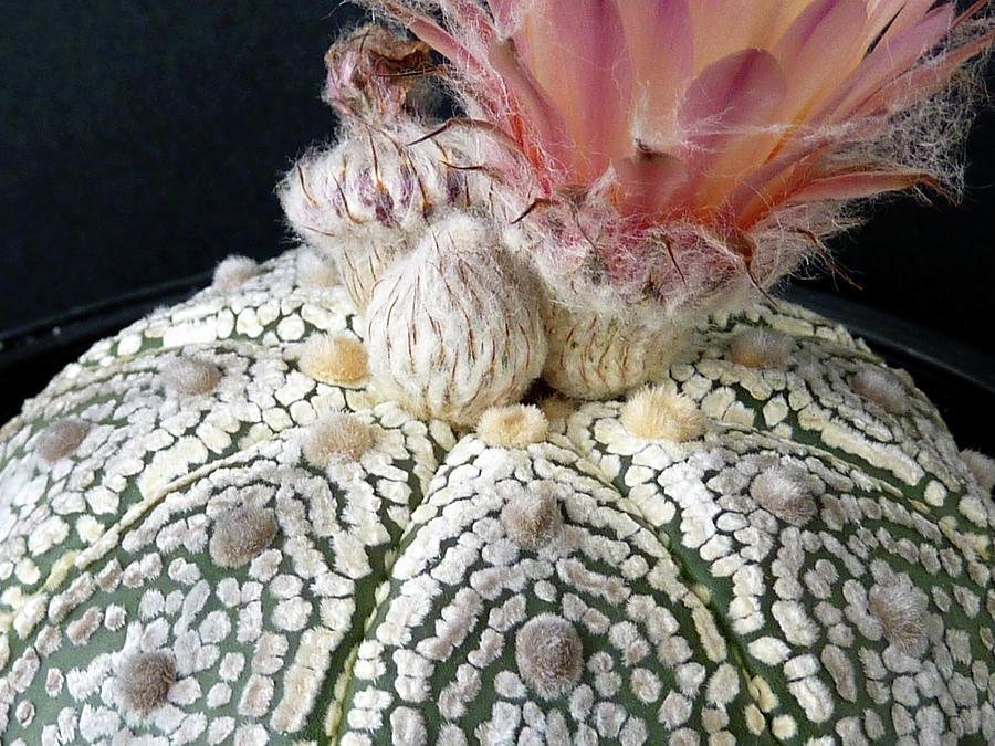 Cactus Flower 6 by Selena Boron