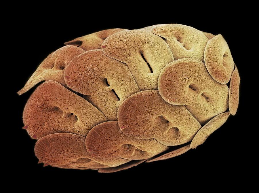 Coccolithophorid Photograph - Calcareous Phytoplankton, Sem by Steve Gschmeissner