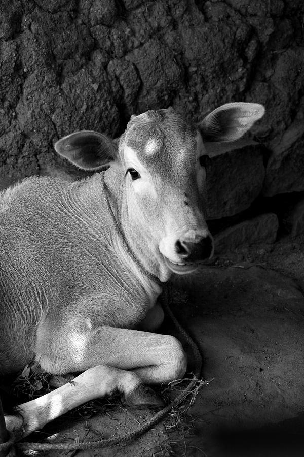 Calf Photograph by Deepak Pawar