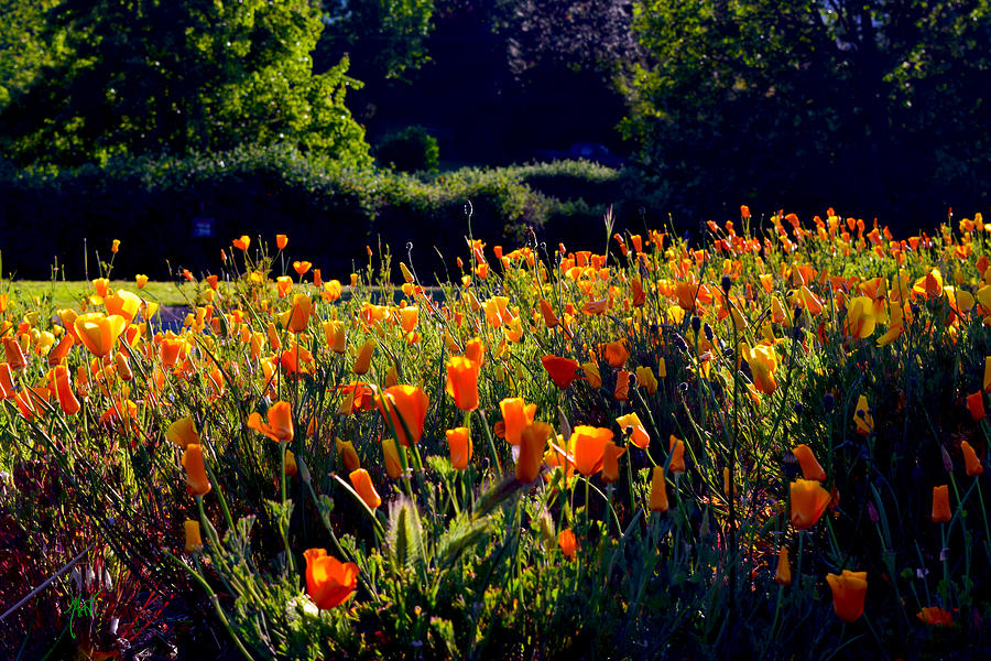 California Poppies Photograph