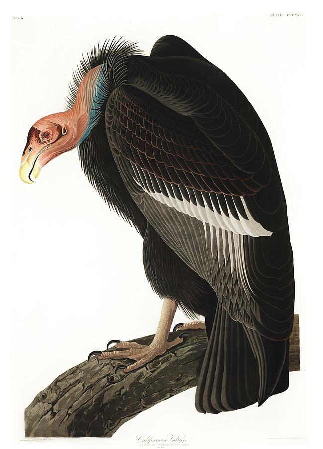 Californian Painting - Californian Vulture by John James Audubon