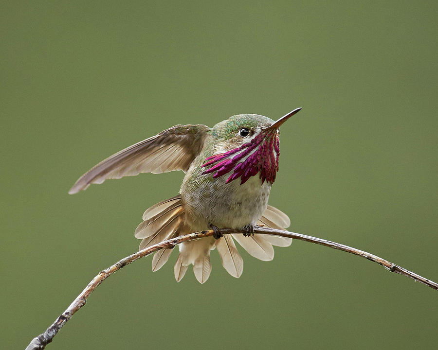 Birds Photograph - Calliope Hummingbird by Doug Herr