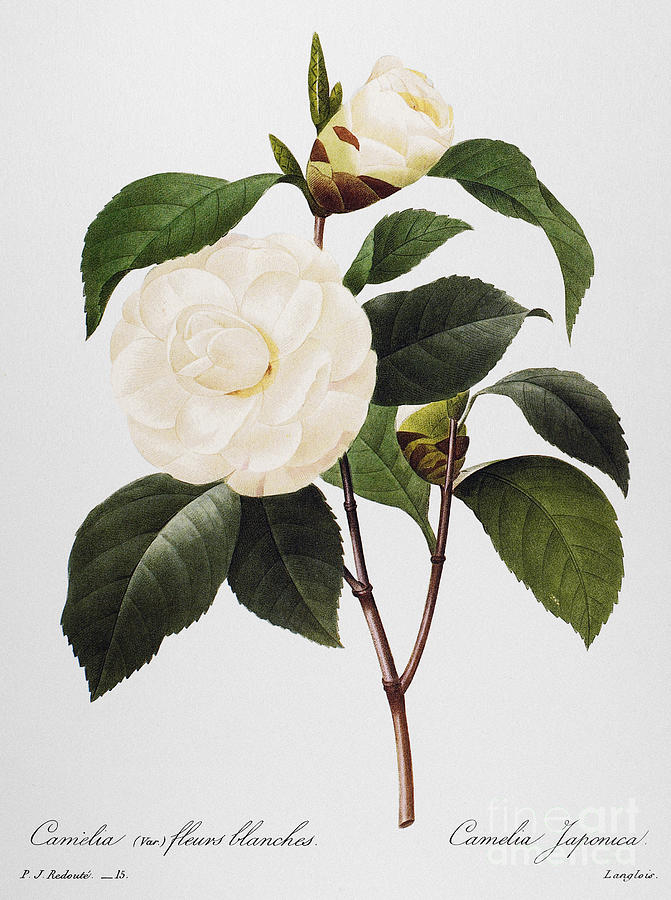 1833 Photograph - Camellia, 1833 by Granger