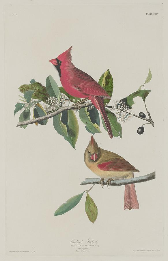 Audubon Drawing - Cardinal Grosbeak by Dreyer Wildlife Print Collections