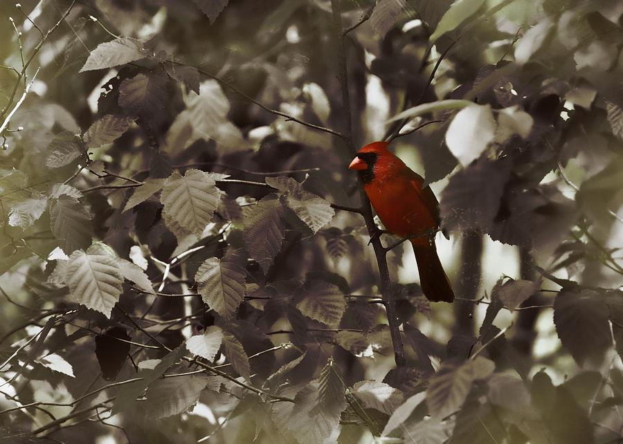Cardinal Photograph - Very Red Cardinal by JAMART Photography