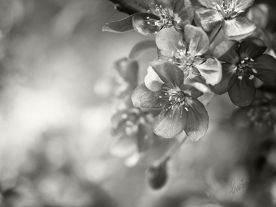 Crab Apple Photograph - Cascade II by Kharisma Sommers