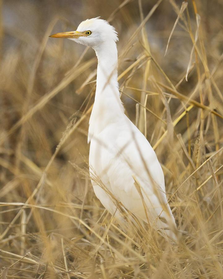 Birds Photograph - Cattle Egret by Doug Herr