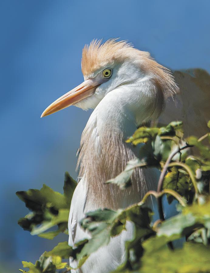 Bird Photograph - Cattle Egret Profile by William Bitman