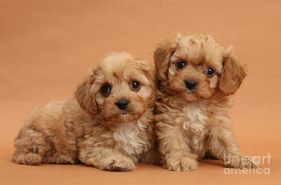 Animal Photograph - Cavapoo Pups by Mark Taylor