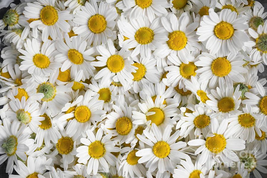 Chamomile Photograph - Chamomile Flowers by Elena Elisseeva