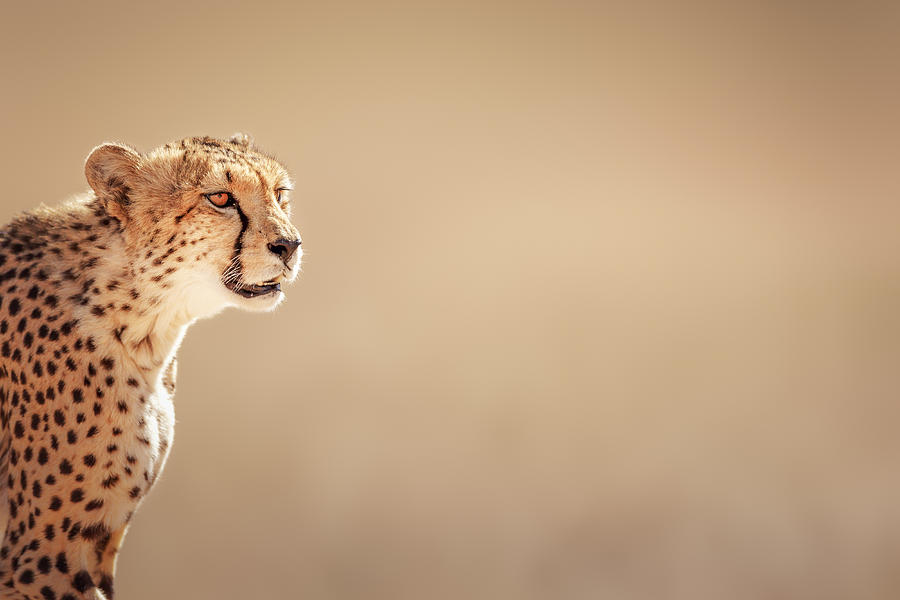 Cheetah Photograph - Cheetah portrait by Johan Swanepoel