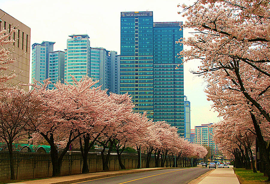 Trees Photograph - Cherry Blossom Time by Michael C Crane