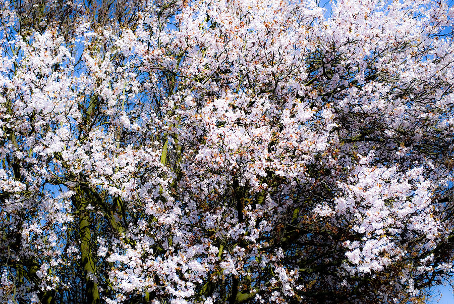 Flower Photograph - Cherry Blossom Tree by Svetlana Sewell
