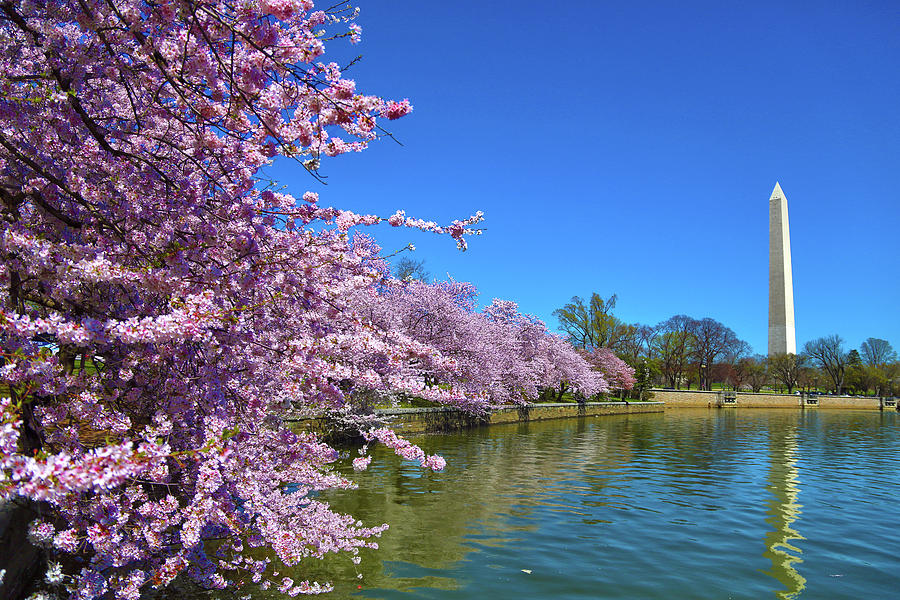 Cherry Blossoms Photograph - Cherry Blossoms by Mitch Cat